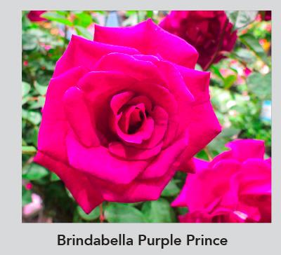 Bridabella Purple Kiss