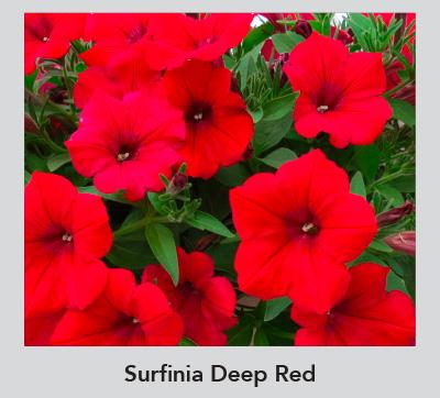 Surfina Deep Red