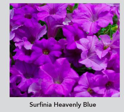 Sufinia Heavenly Blue