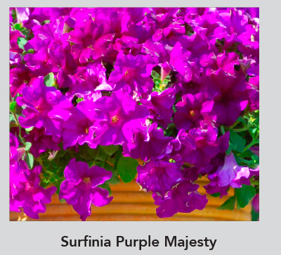 Surfinia Purple Majesty