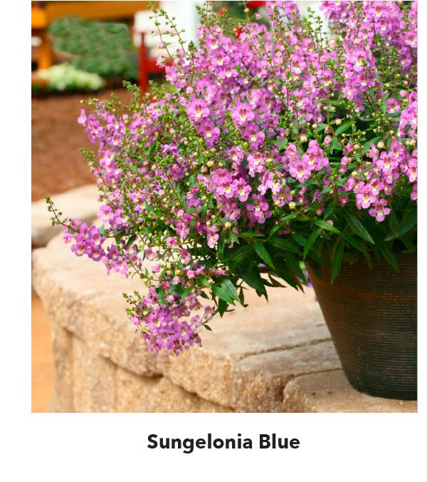 Sungelonia Blue