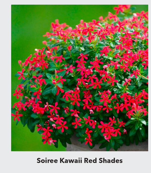 Soiree Kawaii Red Shades